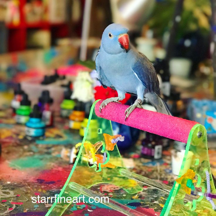 Always love having Indian ringneck RINGO in my studio while I paint .