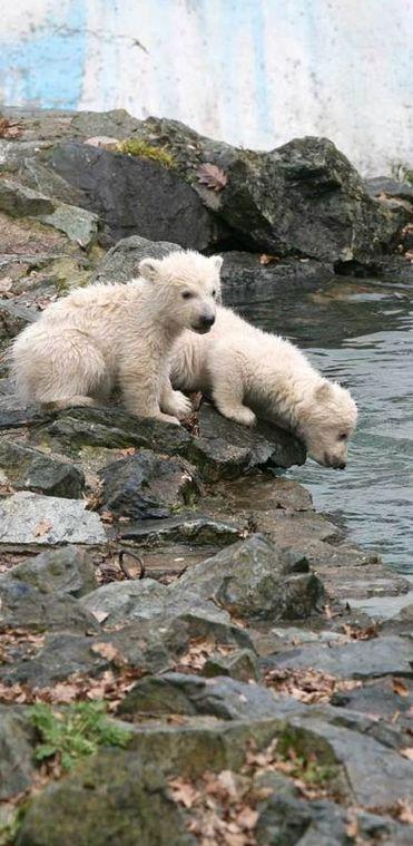 Thirsty polar bear cubs