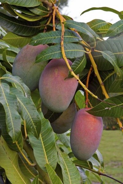 Mango Tree Not Producing: How To Get Mango Fruit - One of the most popular fruits in the world, mango trees have been grown for more than 4,000 years. Mango tree problems, like no mango fruit on trees, have been duly noted with solutions found in this article.