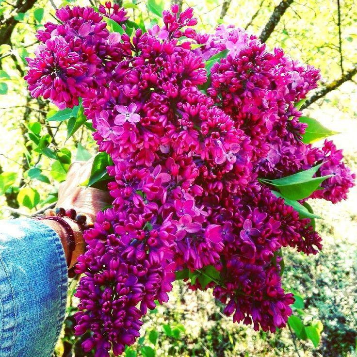 Bonjour la Drôme ! Vous offrir un  bouquet de lilas cueilli sur le bord d'un chemin #bucolique #dromejetaime #lilas #ditesleavecdesfleurs #blossomindrome #springmoodv#surmonchemin #picoftheday #nothingisordinary #momentofmine #rienquepourvous #flowerseveryday #flowergift #igerrhonealpes #southoffrance #