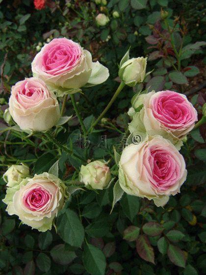 Mimi eden white outer petals blushing strong pink heart really beautiful lawn garden - Rose cultivars garden ...