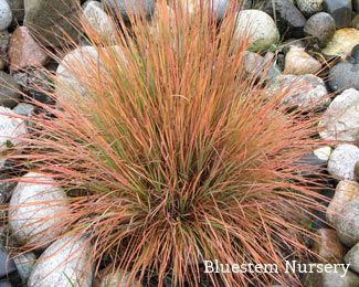 200 best ornamental grasses images on pinterest for Short variegated grass