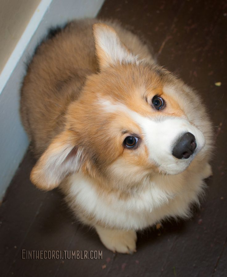 Einstein, The Fluffy Pembroke Welsh Corgi! : Photo