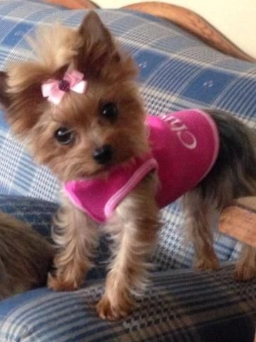 I want a teacup Yorkie for Christmas...my little Max needs a sister♥