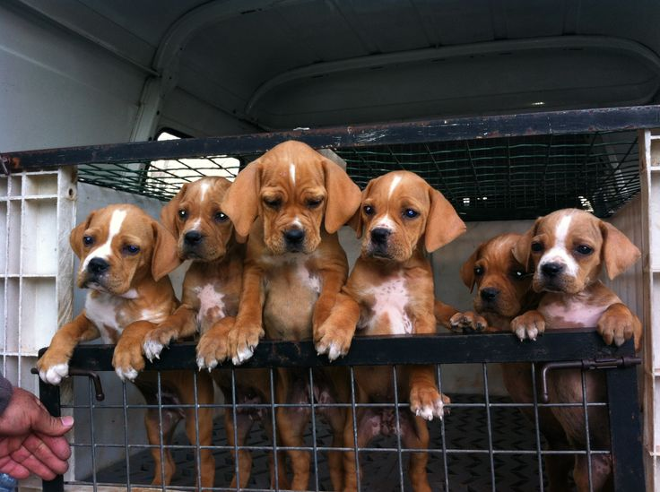 Perdigueiro Português // 6-year old puppies, after their first vaccine. Cute
