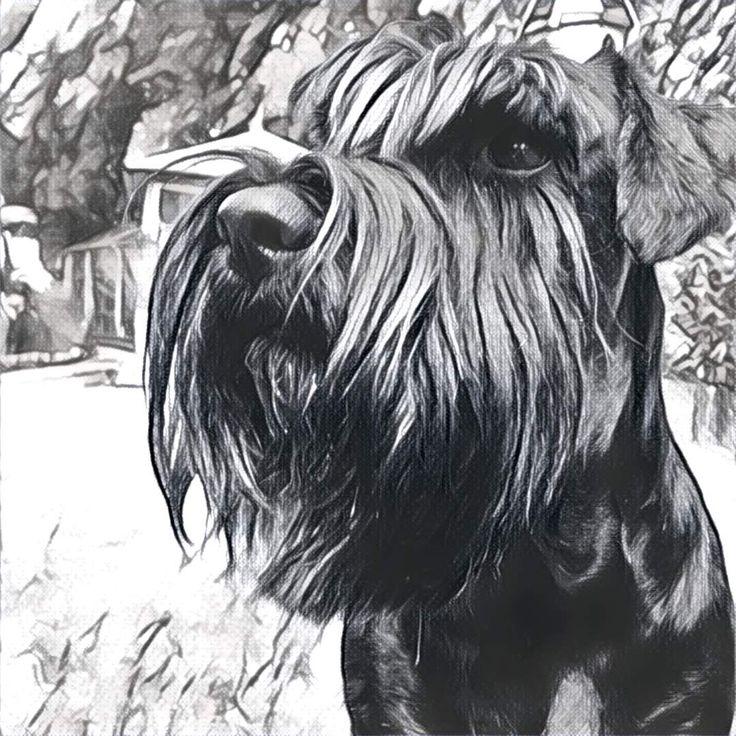 Standard black schnauzer drawing | Schnauzer | Schnauzer ...
