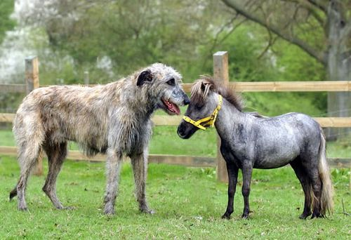 irish wolfhound taller than small pony horse