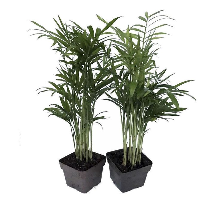 how to care for a parlor palm plant