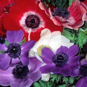 Anemone - coronaria De Caen - Wind Flower Bulbs for sale