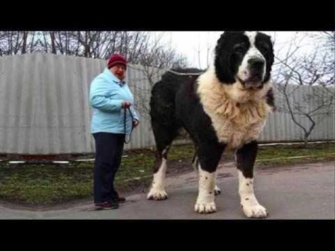 Самые большие собаки в мире ТОП-10