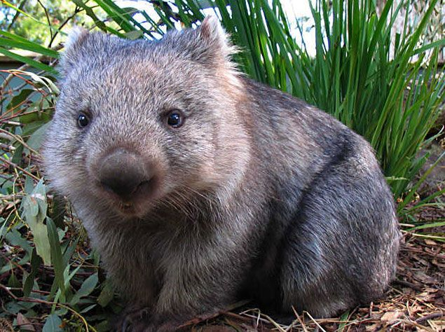 Wombat. I've never seen one of These before