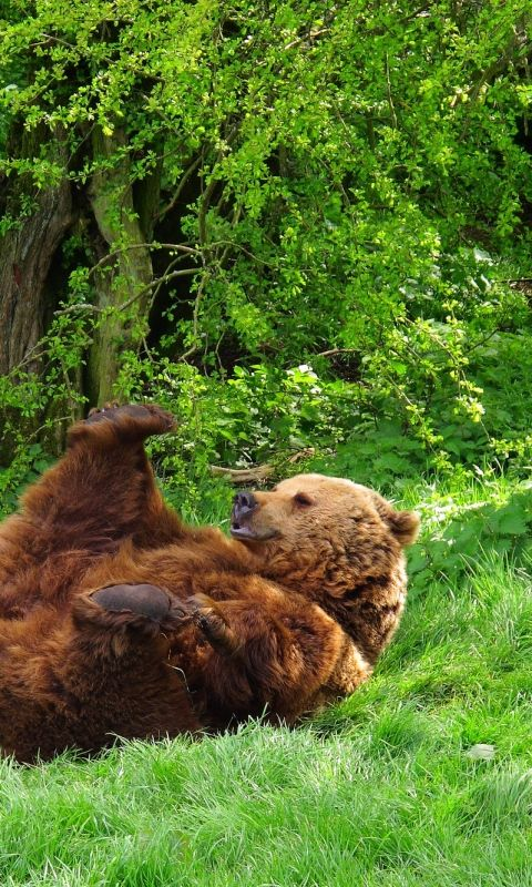 480x800 Wallpaper bear, playful, grass, lie