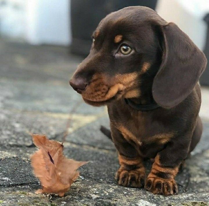 Dachshund Puppy Long Haired Dachshund Dachshund Puppies Dachshund