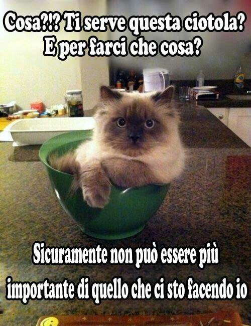 Préférence 53 best gatti divertenti images on Pinterest | Smile, Crazy cat  ST89