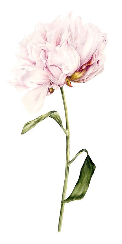 Aquarelle Single de pivoine  impression grand botanique
