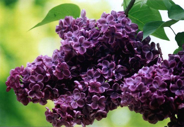Nalewka na kwiatach Lilaka