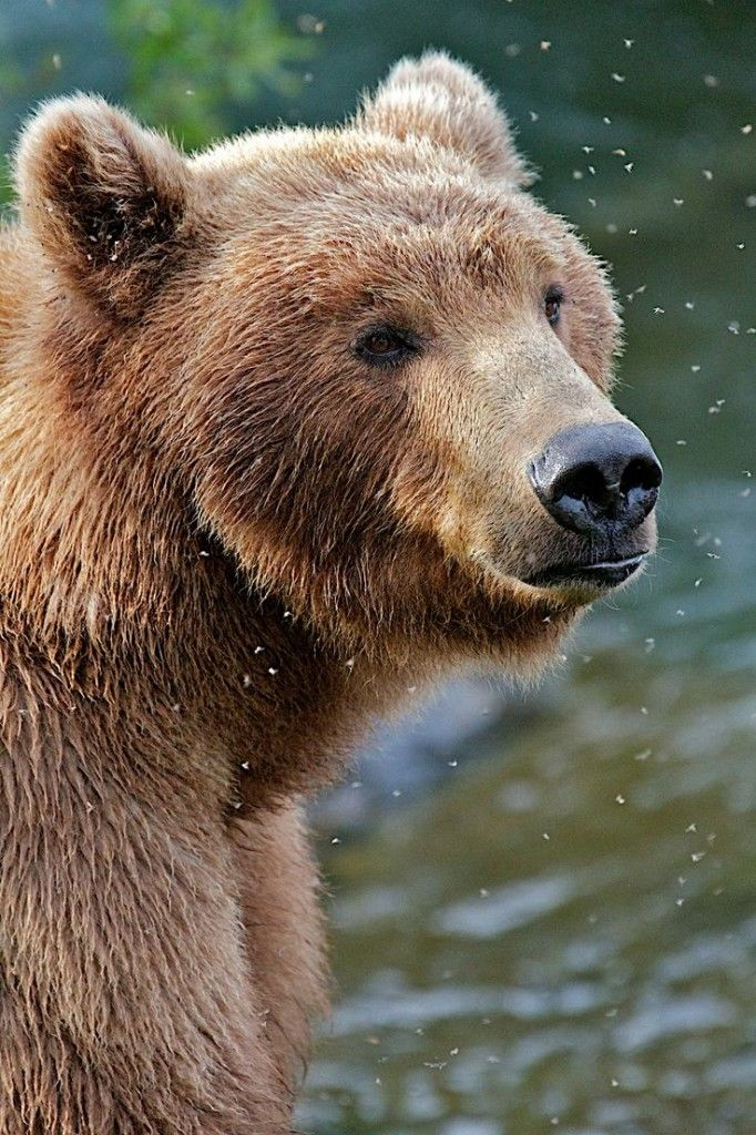 The Brown Bear. We saw one of these in Yellowstone National Park