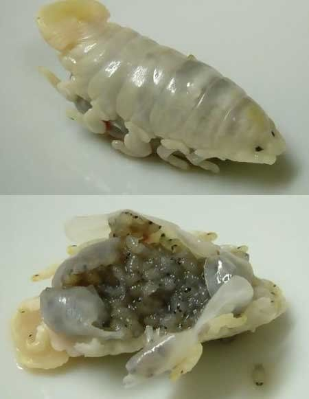 1000 images about isopod on pinterest digital art for Parasite that eats fish tongue