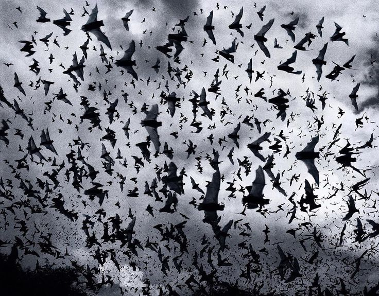 Halloween is coming! Photo by Tim Flach. @timflachphoto #halloween #creepy #spooky #bat #bats #sky #animals #dark #october #clouds #photography #animalphotography #blackandwhitephoto #bnw #monochrome  #illgrammers #agameoftones #visualsoflife #justgoshoot #photomafia #exploretocreate #visualambassadors #ilovephotography #thelensbible #photorep #severinwendeler #photographer #timflach