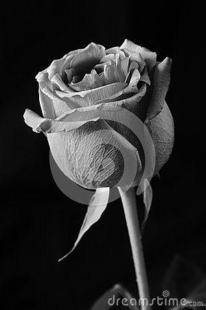 Rose Black And White On Black Background In Studio