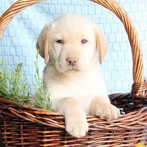 Golden labrador puppies johannesburg