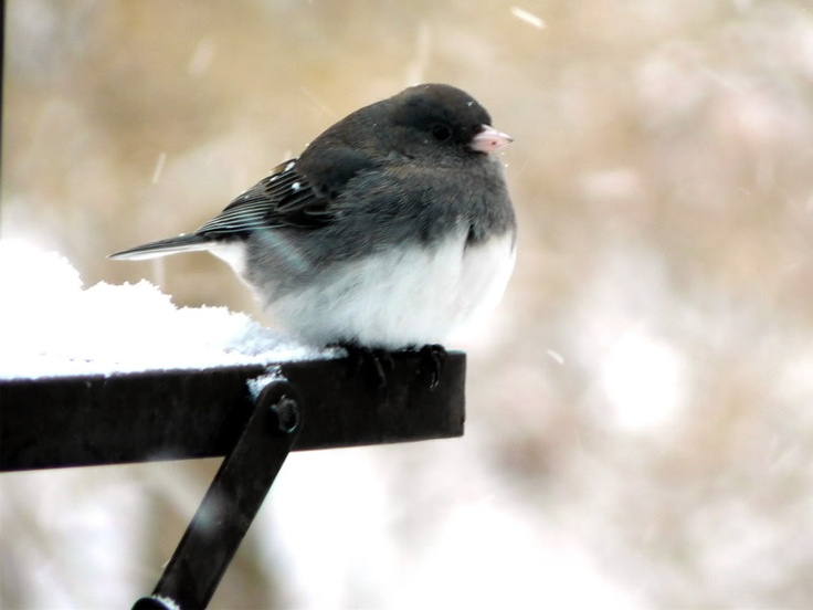 101 Best Birds Of Wisconsin Images On Pinterest