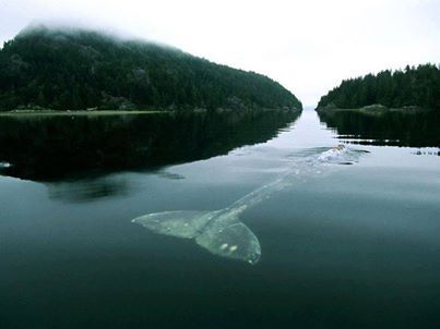 Gray Whale in Grice Bay! Every year, in late fall, gray whales leave their feeding grounds in Alaska to breed in the warm waters off Mexico's west coast. They return north in the summer, a round trip of some 12,500 miles (20,116 kilometers)