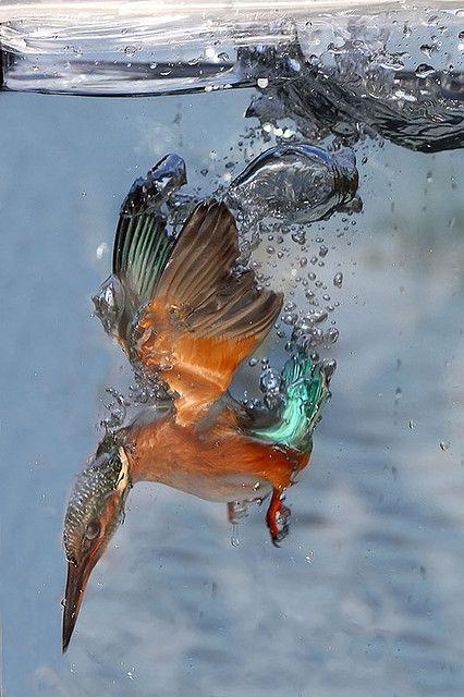 Adrian Groves. Kingfisher diving underwater. < I just HAD to repost this. The colors are SO vibrant!!!!