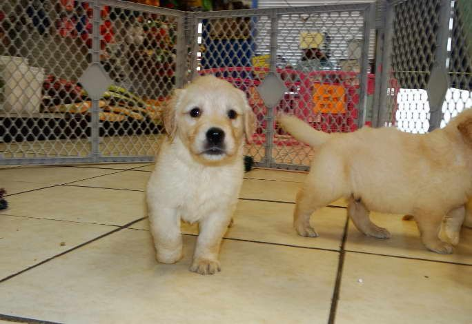 Pin By Lisa S Garage On Dogs Retriever Puppy Puppies Golden Dog