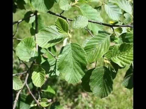 Az erdő növény és állatvilága Fák