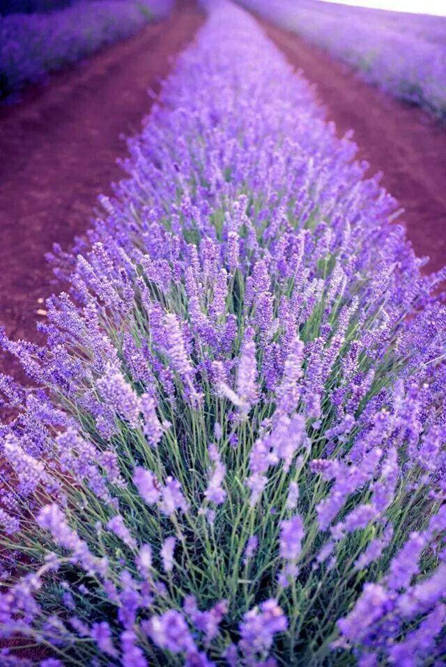 Bridestowe Lavender Farm Tasmania