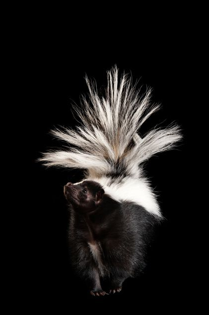 A striped skunk (Mephitis mephitis) at The Wildlife Center in Espanola, New Mexico.