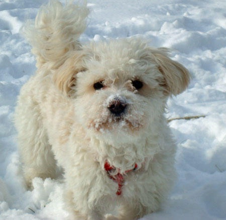 956 Best Havanese Photos Images On Pinterest Havanese Puppies Animals And Coffee Cupcakes