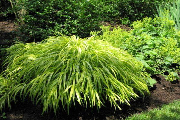Hakone Gras Ein Kaskadenformiges Ziergras Hellt Den Garten Auf Ziergras Graser Fur Schatten Pflanzen Schatten