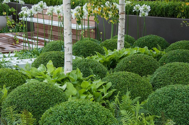 buxus sempervirens care instructions
