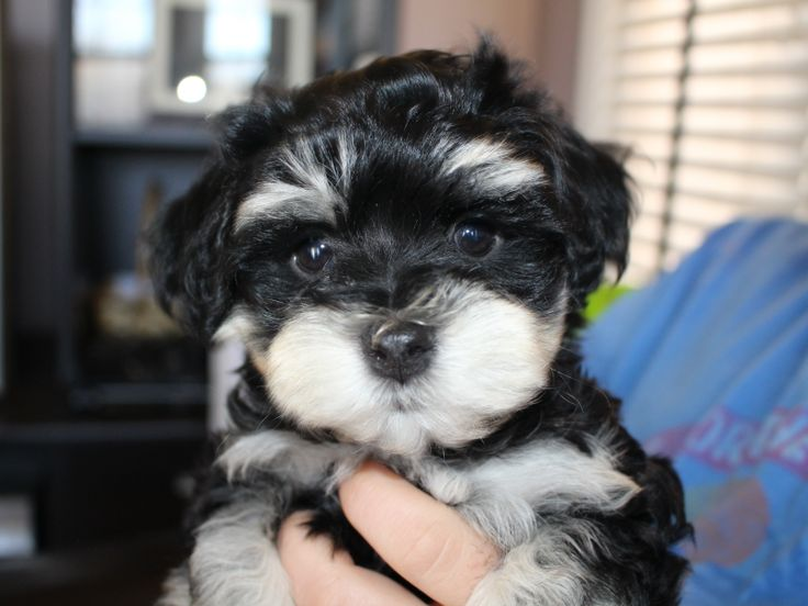 AKC Havanese puppies for sale | Patch