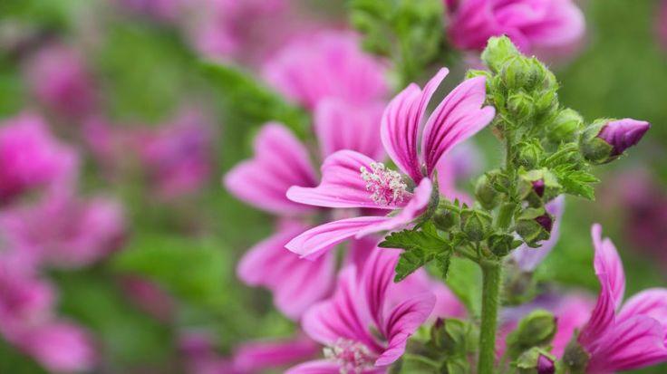 La Malva Sylvestris è una pianta officinale che fiorisce a inizio estate, dai fiori lillà con venature viola scuro e foglie pelose. Cresce spontanea a bordo strada e sui terreni incolti, in tutto il bacino del Mediterraneo, insieme a tante altre specie di malve e malvoni.