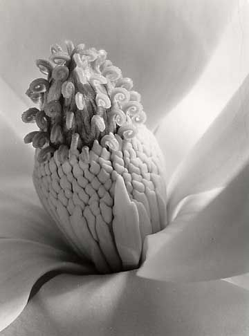 Magnolia Blossom, Tower of Jewels, Imogen Cunningham, 1925,Platinum Print