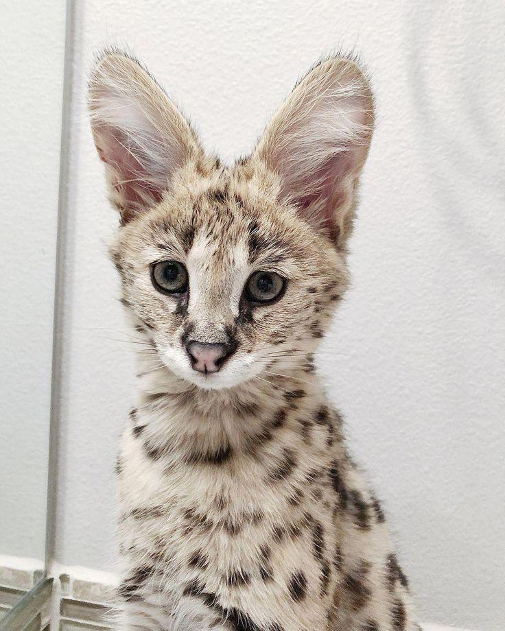 servalcats ScratchingPostForCats Cute wild animals