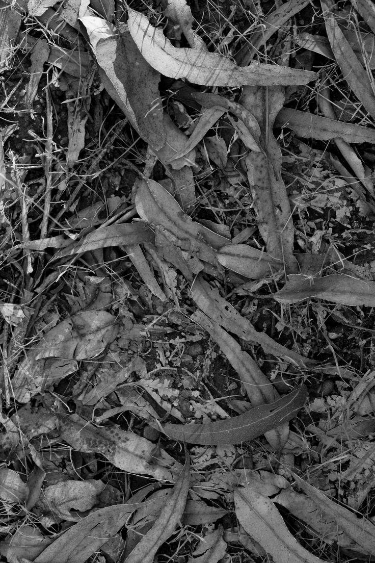 eucaliptus ....