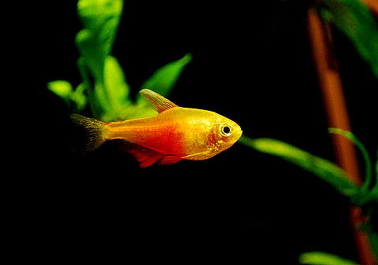 277 best tetras danios rasboras images on pinterest for Tetra fish tank