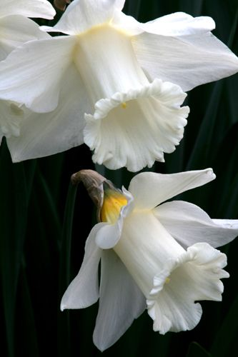 "Narcissus 'Mount Hood' White Trumpet Dafodil 4"" trumpet flowers , 18 to 20 "" , full sun to light or open shade, drought tolerant"