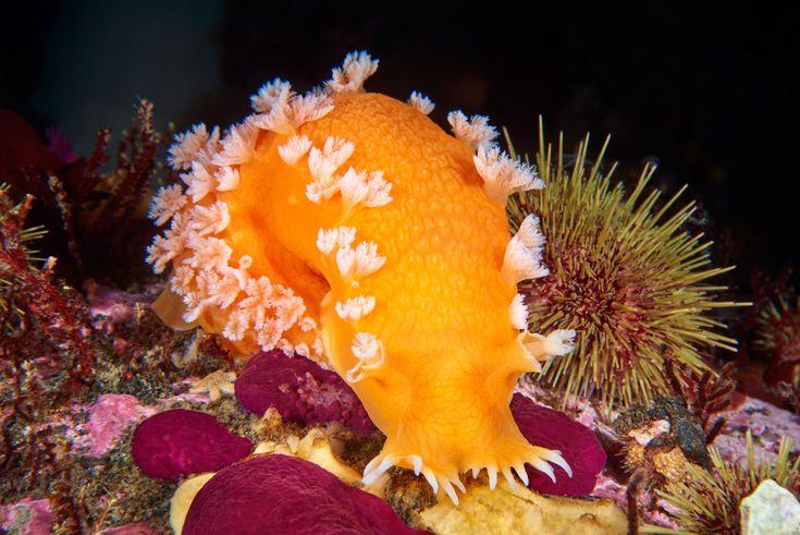 Морской слизняк из семейства морских лучепёрых рыб