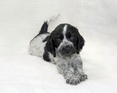 About Cocker Spaniels.com - lots of great dog-care info specific to cocker spaniels, and information about the breed.