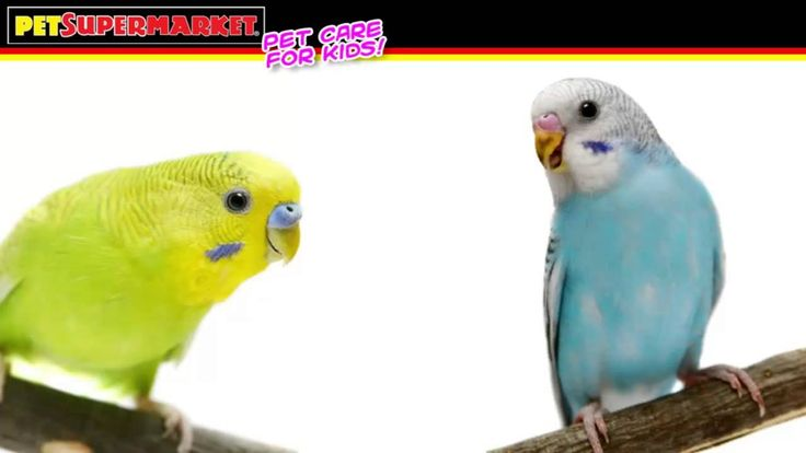 Budgie Care Training for Kids