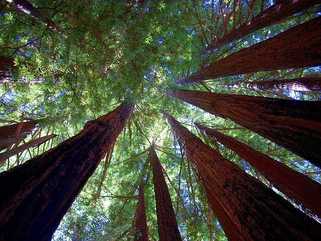 Самые большие и старые деревья