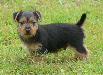 australian terrier puppy - Google Search