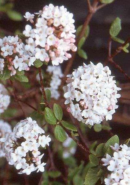 Viburnum burkwoodii 'Anne Russell' Burkwood Viburnum