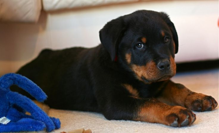 Famous fictional rottweilers include the puppet triumph