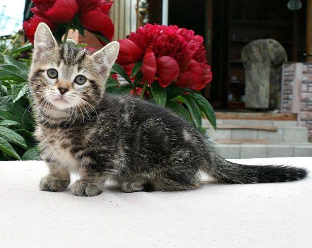 gatto munchkin